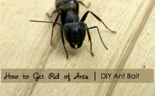 Tips on how to get rid of ants with a DIY ant bait recipe