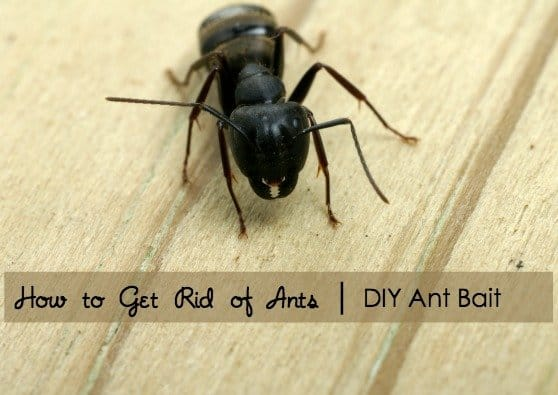 How to Get Rid of Ants with DIY Ant Bait Using Safe, Made in USA Ingredients