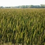 Support Industrial Hemp Farming in the USA. Here's Why.